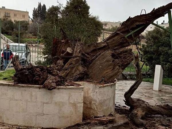 Мамврийский дуб упал